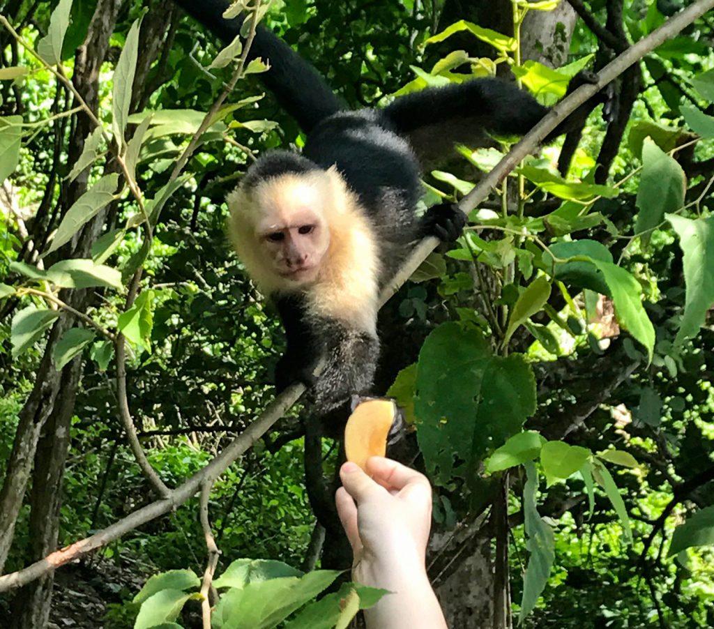 Monkey Playa Doña Ana Costa Rica